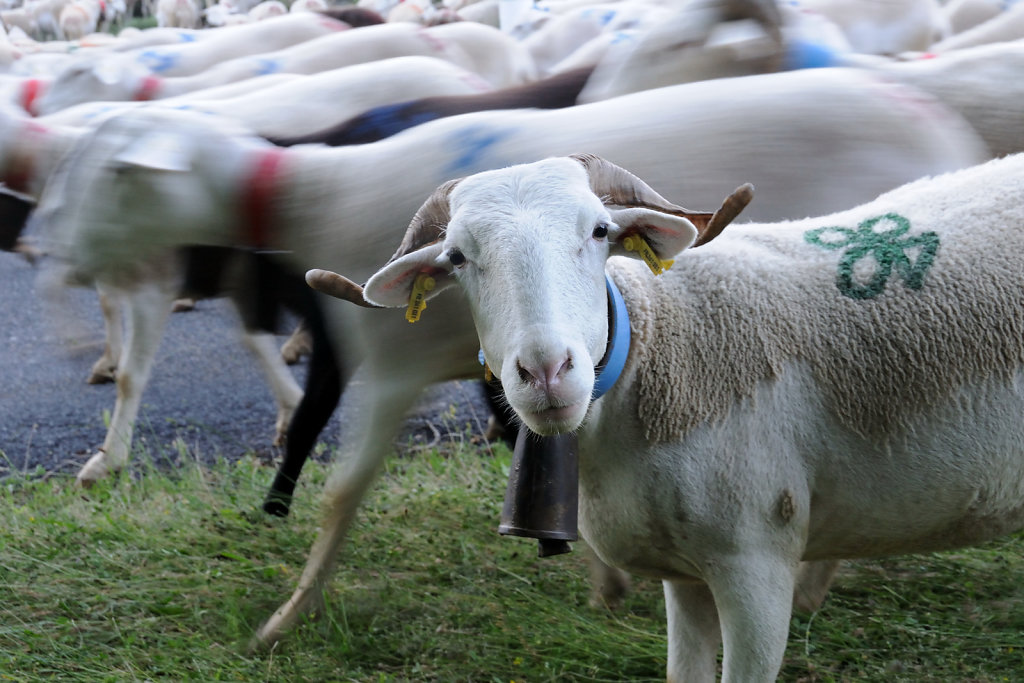 Marc-Legroux-the-402008-003182-Transhumance-Brebis-Curieuse-V0a.JPG